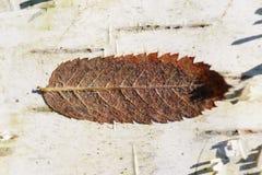 Сухие лист на коре дерева березы, макросе Стоковые Фото