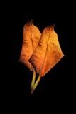 Сухие лист на черноте Стоковое Изображение