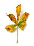 Сухие лист осени каштана Стоковая Фотография