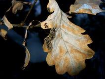 Сухие лист дуба предусматриванные с заморозком Стоковые Изображения