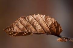 Сухие карие лист Стоковые Изображения