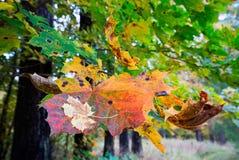 Сухие кленовые листы на ветви Стоковое Изображение