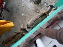 Сухие козы Стоковые Фотографии RF
