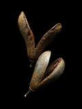 Сухие конусы сосенки Стоковая Фотография RF