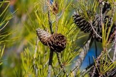 Сухие конусы сосны на сосне в одичалом лесе стоковое фото