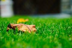 Сухие листья на зеленой траве Стоковое фото RF