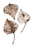сухие листья прозрачные Стоковые Изображения