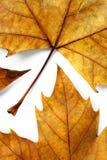 сухие листья Стоковая Фотография RF