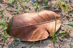 Сухие лист джекфрута Стоковая Фотография