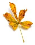 Сухие лист осени каштана Стоковое Изображение