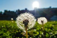 Сухие одуванчики подсвеченные по солнцу на зеленом луге на солнечном утре в парке Kalemegdan, Белграде Стоковые Фотографии RF