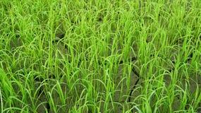Сухие поля рисовых полей Стоковая Фотография