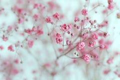 Сухие розовые цветки дыхания ` s младенца Стоковое Изображение