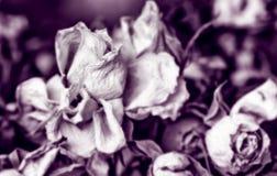 Сухие розы в sepia стоковые фото