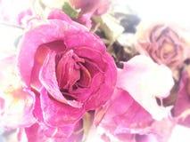 сухие розы Стоковые Изображения RF