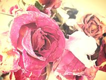 сухие розы Стоковое Фото