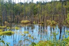 Сухие стволы дерева в болоте, живописном красивом болоте Стоковые Фото