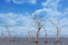 Сухие стволы дерева и пни на Kow заболачивают, Австралия Стоковые Изображения