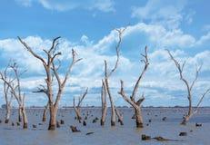 Сухие стволы дерева и пни на Kow заболачивают, Австралия Стоковые Фото