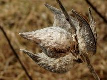 Сухие стручки milkweed Стоковая Фотография RF