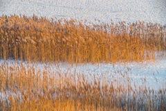Сухие тростники в зиме стоковое изображение