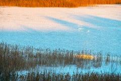 Сухие тростники в зиме стоковые фотографии rf