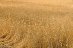 Сухие тростники в поле стоковые фото