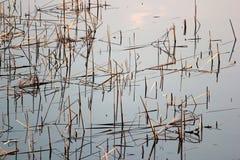 Сухие тростники в пруде стоковое изображение rf
