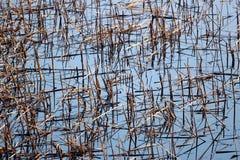 Сухие тростники в пруде стоковая фотография