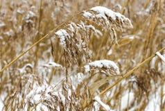 Сухие тростники покрытые с снегом стоковая фотография rf