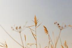 Сухие тростники реки против неба Стоковые Фото