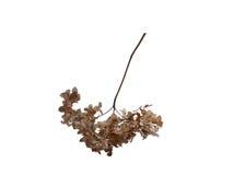 Сухие цветки гортензии Стоковое фото RF