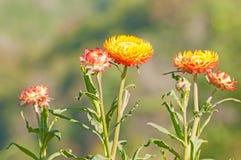 Сухие цветок соломы или вековечный Стоковая Фотография