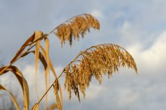 Сухие цветорасположения тросточки Стоковые Фотографии RF