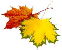 2 сухих кленового листа разностороннего цвета Стоковое Изображение