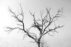 Сухое безжизненное дерево стоковые фотографии rf