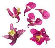 Сухое большое розовое и белое цветение цветка Columbine Стоковое фото RF