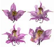 Сухое большое розовое и белое цветение цветка Columbine Стоковые Фото