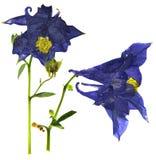 Сухое большое синее и белое цветение цветка Columbine Стоковое Фото