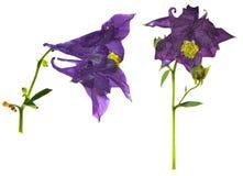 Сухое большое фиолетовое и белое цветение цветка Columbine Стоковые Фотографии RF
