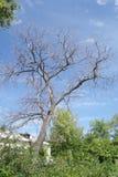 Сухое дерево в лете Стоковое фото RF