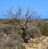 Сухое дерево можжевельника на острове Chrissi, виде на море, охраняемой территории, Греции стоковое изображение