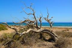 Сухое дерево можжевельника на острове Chrissi, виде на море, охраняемой территории, Греции стоковое фото rf