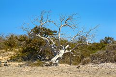 Сухое дерево можжевельника на острове Chrissi, охраняемой территории, Греции стоковое фото rf