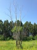 Сухое дерево среди деревьев стоковые изображения rf