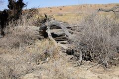 Сухое дерево, национальный парк сернобыка, Южная Африка Стоковая Фотография RF