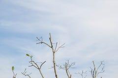 Сухое дерево отсутствие лист в сезоне лета Стоковое Изображение