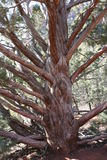 Сухое дерево Sedona Аризона можжевельника Стоковые Фото