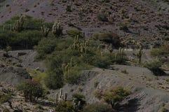 Сухое место с кактусом Стоковое Фото