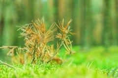 Сухое мех-дерево стоковая фотография